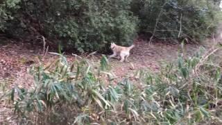 和犬『鉄』7ヶ月の初猪訓練