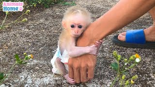 The Process Of Becoming a father Of Baby Monkey