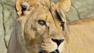 Scar lion king 2019 remake drawing