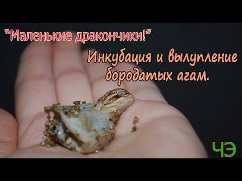 видео: Бородатые агамы (pogona vitticeps). Инкубация и вылупление