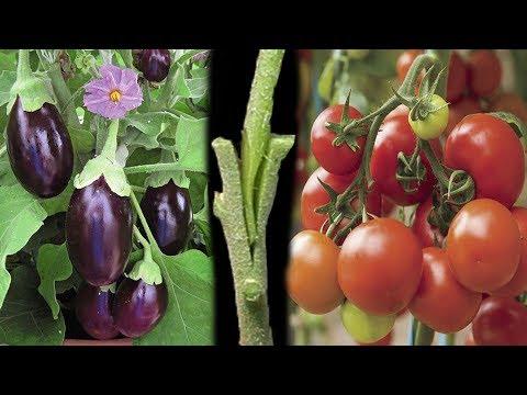 Tomato Grafting On Eggplant