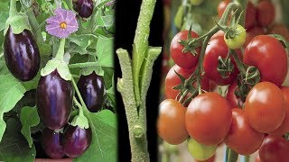 Tomato Grafting On Eggplant