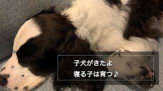 子犬の「ぼく」が家族に加わりました。 #子犬 #コッカースパニエル #犬...