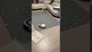 강아지 입양 후 처음 로봇청소기를 만난 아기강아지 반응…