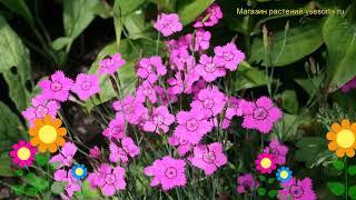 Гвоздика травянка Конфетти Дип Роуз. Краткий обзор, описание dianthus deltoides Confetti Deep Rose