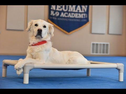 Rose (Golden Retriever) Boot Camp Dog Training Video Demonstration