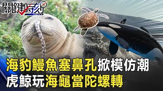 屁孩海豹的次文化「鰻魚塞鼻孔」掀模仿熱潮 虎鯨玩海龜「當陀螺轉」!【@關鍵時刻 】20201027-3 劉寶傑 陳耀寬