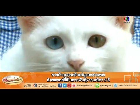 เรื่องเล่าเช้านี้ ชาวบ้านนครศรีฯแห่ดูแมวตาเพชร สัตวแพทย์ชี้เป็นสายพันธุ์ขาวมณีตา 2 สี (12 ก.พ.58)