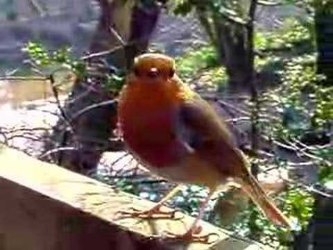 Talented Robin singing