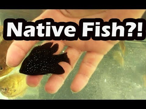 Native Fish for Aquarium, Collecting Native fish in Florida