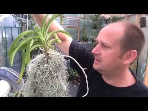 Vanda Care Update: Growing Vanda's in pots/ Vanda Roots and Bloom Spikes in Higher humidity