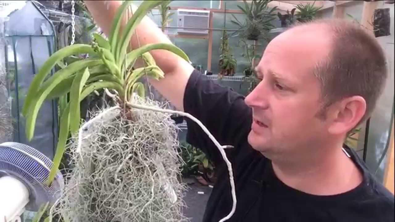 Vanda Care Update Growing Vanda S In Pots Vanda Roots