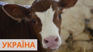 Классическая музыка для коров: в Винницкой области появилась современная ферма
