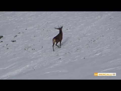 Cerfs sous le Puy Violent Cantal