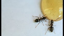Portland Pest Control | Sugar Ants | Info Video