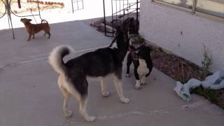 Husky and Sammie Dog Trying to Sex!