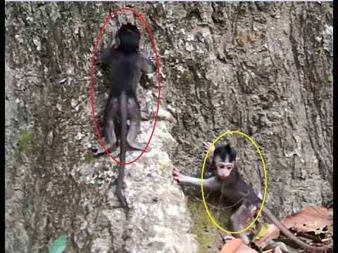 Newborn monkey try to clime on the big tree, So lovely baby monkey