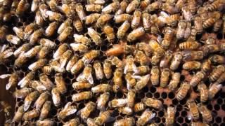 ミツバチの中で一匹だけ大きい蜂が女王蜂です。 優雅に働き蜂の中を散歩...