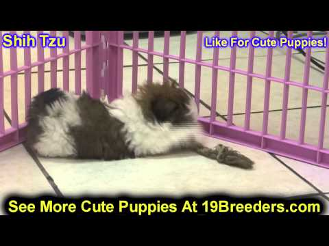 Shih Tzu, Puppies, For, Sale, In, Badger, County, Alaska, Ak, Kink Fairview, College
