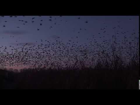 Flock of common starlings (Sturnus vulgaris) departing from reedbed at dawn, Somerset Levels, UK