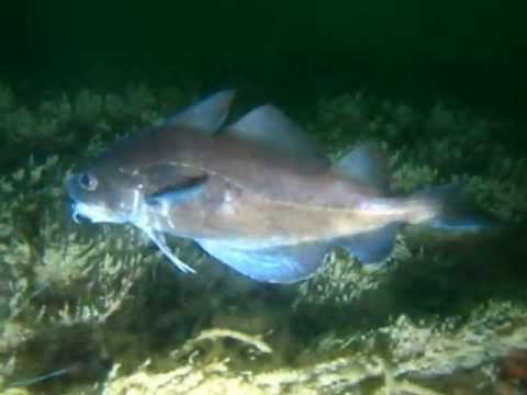 Fish stuck at Bruno Heineman Wreck, North Sea (20-05-2013)