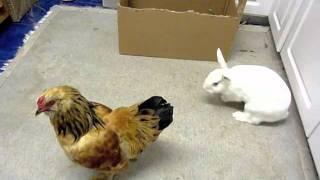 fight night: bunny rabbit vs. chicken rooster