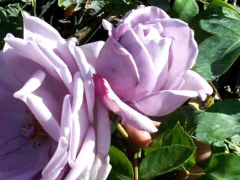 Rose Blue Girl.mov