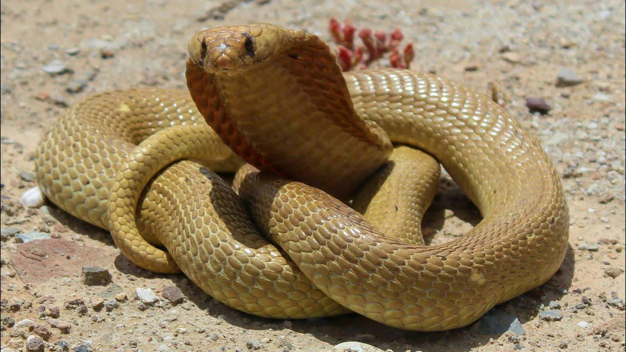 Herping 2016 Cape Cobra Handling And Strike Youtube