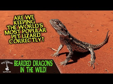 BEARDED DRAGONS IN THE WILD! (are we keeping them correctly