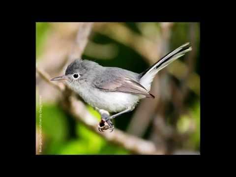 Blue-gray Gnatcatcher Song
