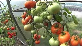 Что делать с помидорами, которые не успели дозреть