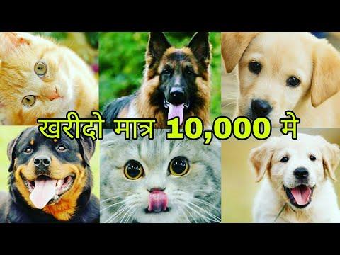Dog shop in delhi | cheap price dogs | German Shepherd | Pitbull dog | Bulldog | Blue Eyes cat