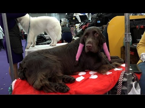 'FINN' a Field Spaniel who competed at the 2019 Westminster Kennel Club Dog Show