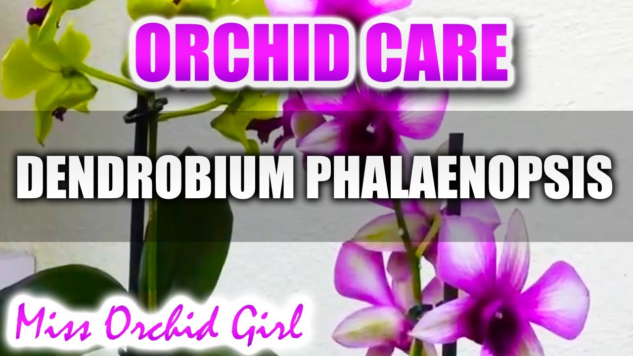 Orchid Care Dendrobium Phalaenopsis Anna Green And