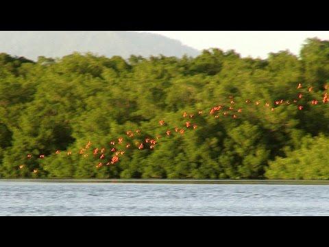 Scarlet Ibis - Caroni Bird Sanctuary - Trinidad