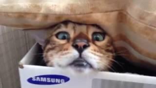 Бенгальский кот отжигает!