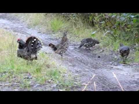 Tétras du Canada - Spruce Grouse