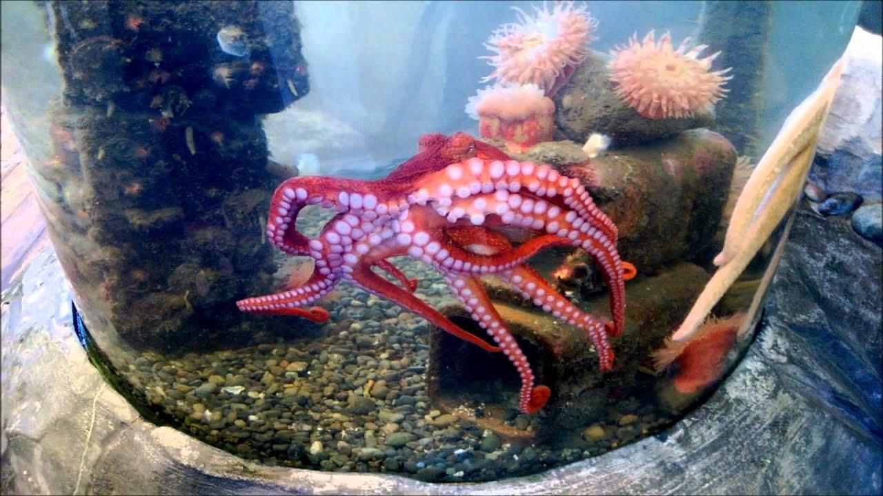 Freshwater Aquarium Octopus