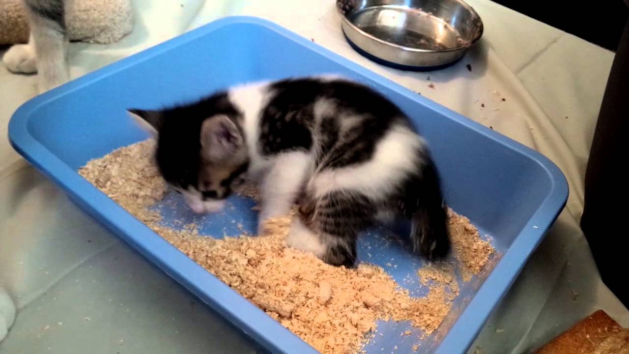 4 week old VOKRA Foster kitten learning to use the litterbox