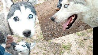 Странный щенок помеси Хаски