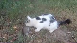 Смертельная драка кошки с крысой