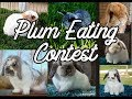Bunny Plum-Eating Contest!