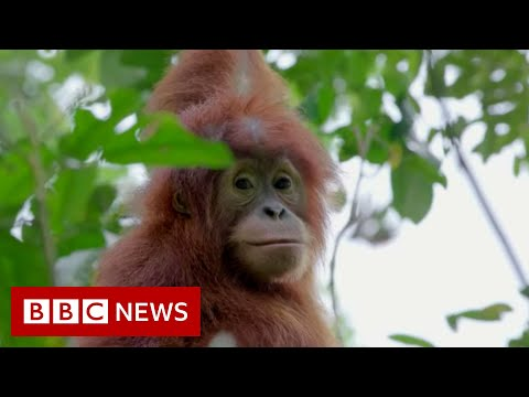 Leuser : Baby orangutans rescued from Indonesia's pet trade