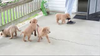 Labradoodle Puppies For Sale Marlin Raber