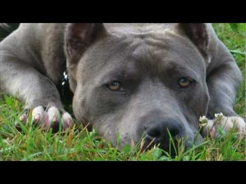 Mind Changing Kennels American Bandogs