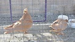 Phoenix, AZ Pigeon Mart 1/26/14