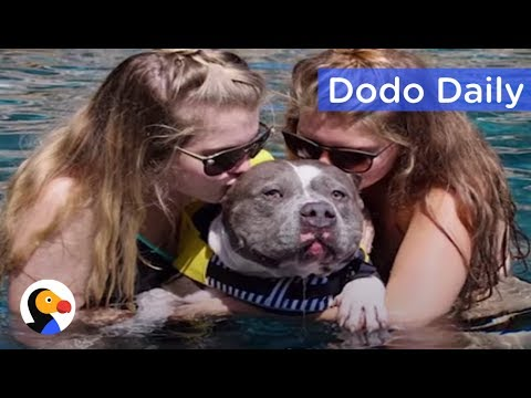 Pit Bull Shot by Landlord Loves Swimming Now: Best Animal Videos | The Dodo Daily