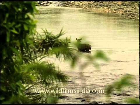 Sambhar walking through water