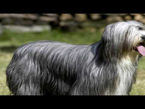 Bearded Collie Tick Prevention