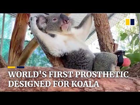 Koala gets prosthetic foot in world first in Australia